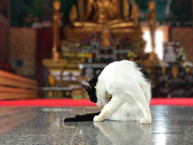 ワット・プライ・レーム(Wat Plai Laem)の猫